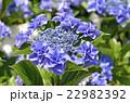 紫陽花 ユキノシタ科 七変化の写真 22982392