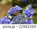 紫陽花 ユキノシタ科 七変化の写真 22982394