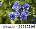 紫陽花 ユキノシタ科 七変化の写真 22982396