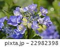 紫陽花 ユキノシタ科 七変化の写真 22982398