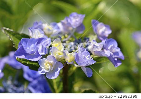 アジサイ(紫陽花) 22982399