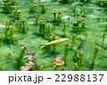 岐阜県関市 モネの池 22988137