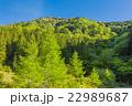 新緑のカラマツの林 22989687