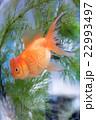 和・夏イメージ~金魚~ 22993497
