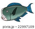 魚のイラスト カンムリブダイ 22997109