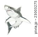 鮫 サメ 23003275