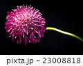 スカビオサ、花、接写、マクロ。 23008818