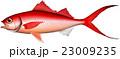 オナガ/ハマダイ イラスト ベクター EPS 23009235
