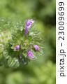 植物 花 姫踊子草の写真 23009699