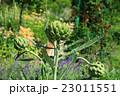 アーティチョーク 朝鮮アザミ ツボミの写真 23011551