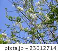 サクラの後に咲くハリエンジュの白い花 23012714