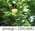昭和の森で一番背の高い樹木ユリノキの花 23014681