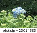 初夏を彩るアジサイの花 23014683