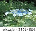 初夏を彩るガクアジサイの花 23014684
