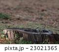 キクイタダキ 23021365
