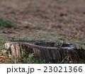 キクイタダキ 23021366