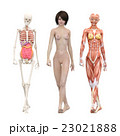筋肉標本 骨格 女性 perming3DCGイラスト素材 23021888