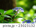 紫陽花の花 23023132