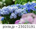 紫陽花の花 23023191