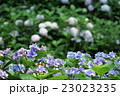 ガクアジサイ アジサイ 花の写真 23023235