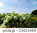 ハイドランジアアナベルというアジサイの白い花と白い雲 23023469