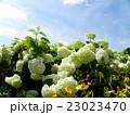 ハイドランジアアナベルというアジサイの白い花と白い雲 23023470