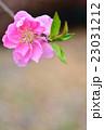 花桃 八重咲き バラ科の写真 23031212