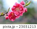 花桃 八重咲き バラ科の写真 23031213