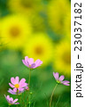 コスモス 花 植物の写真 23037182
