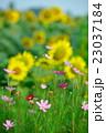 コスモス 花 植物の写真 23037184