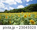 ひまわり 畑 植物の写真 23045020