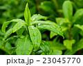 露 水滴 植物の写真 23045770