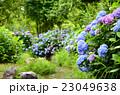 紫陽花 花 新緑の写真 23049638