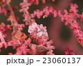 ピグミーシーホース シーホース 擬態の写真 23060137