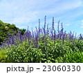 この青色の花はインディゴスパイヤーというサルビアの花 23060330