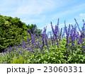この青色の花はインディゴスパイヤーというサルビアの花 23060331