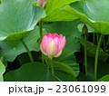 千葉公園のオオガハスの桃色の花 23061099