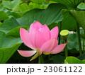 千葉公園のオオガハスの桃色の花 23061122