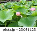 千葉公園のオオガハスの桃色の花 23061123