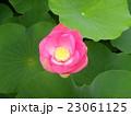千葉公園のオオガハスの桃色の花 23061125