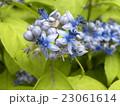 小さいサイズのアジサイデイクロアの青い花 23061614