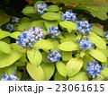 小さいサイズのアジサイデイクロアの青い花 23061615