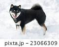 黒柴 柴犬 犬の写真 23066309