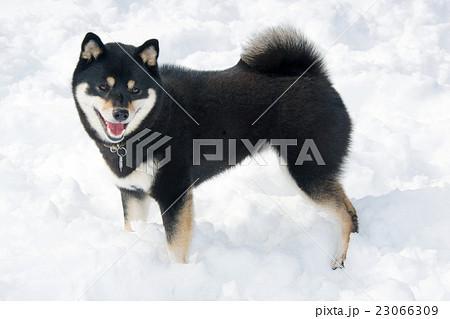 柴犬と雪 23066309