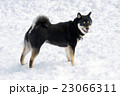 黒柴 柴犬 犬の写真 23066311