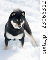 黒柴 柴犬 犬の写真 23066312