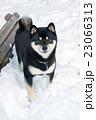 黒柴 柴犬 犬の写真 23066313