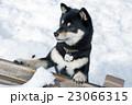 黒柴 柴犬 犬の写真 23066315
