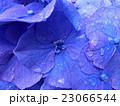 雨に濡れた紫陽花 23066544