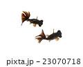 金魚 クロデメキン 魚の写真 23070718